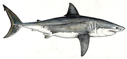 Great White Shark Drawing The Great White...